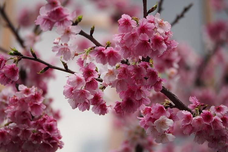 dettaglio di ciliegio giapponese