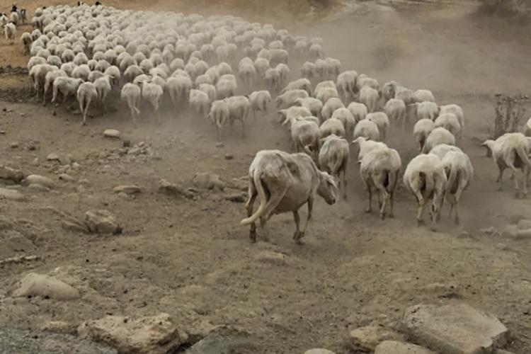 un gregge di pecore