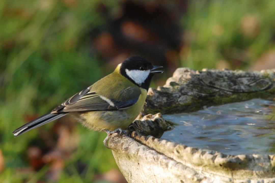 uccellino che si abbevera ad una fontana